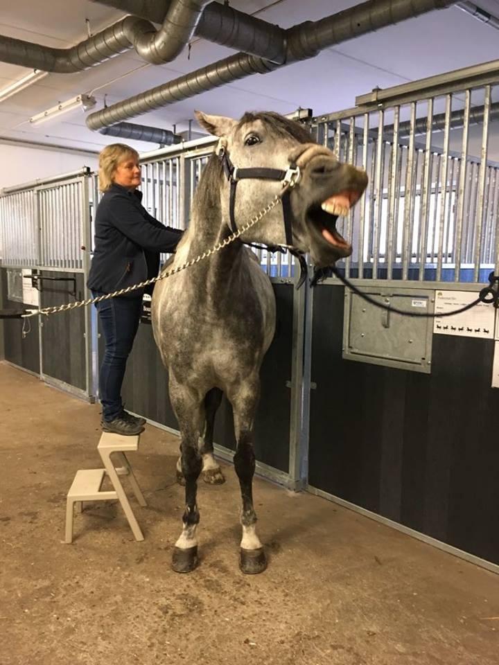 Kraniosakral behandling av häst Janes Hälsa